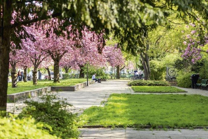 Kirschblüte im Kiez